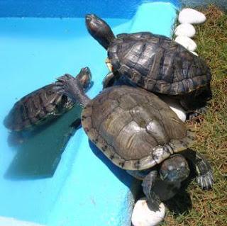 Tortugas dándose un baño