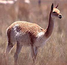 Foto de la vicuña de perfil