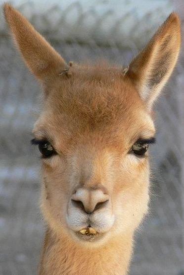 Rostro de la vicuña de cerca