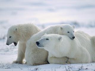Pequeños osos polares con su madre