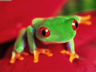 Rana con ojos rojos