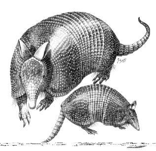 Ilustración de armadillos