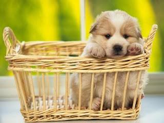Perro cachorro en una canasta