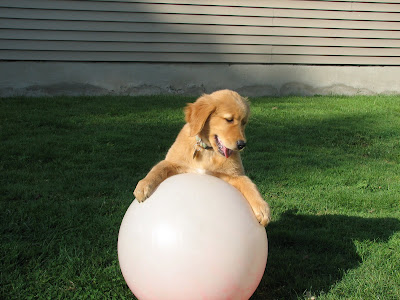 Golden Retriever puppy playing with ball