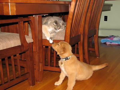 golden retriever puppy meeting cat