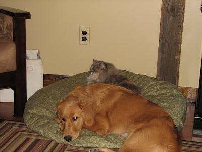 cat taking over golden retriever's bed