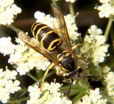 Yellow Jackets Honey Bees