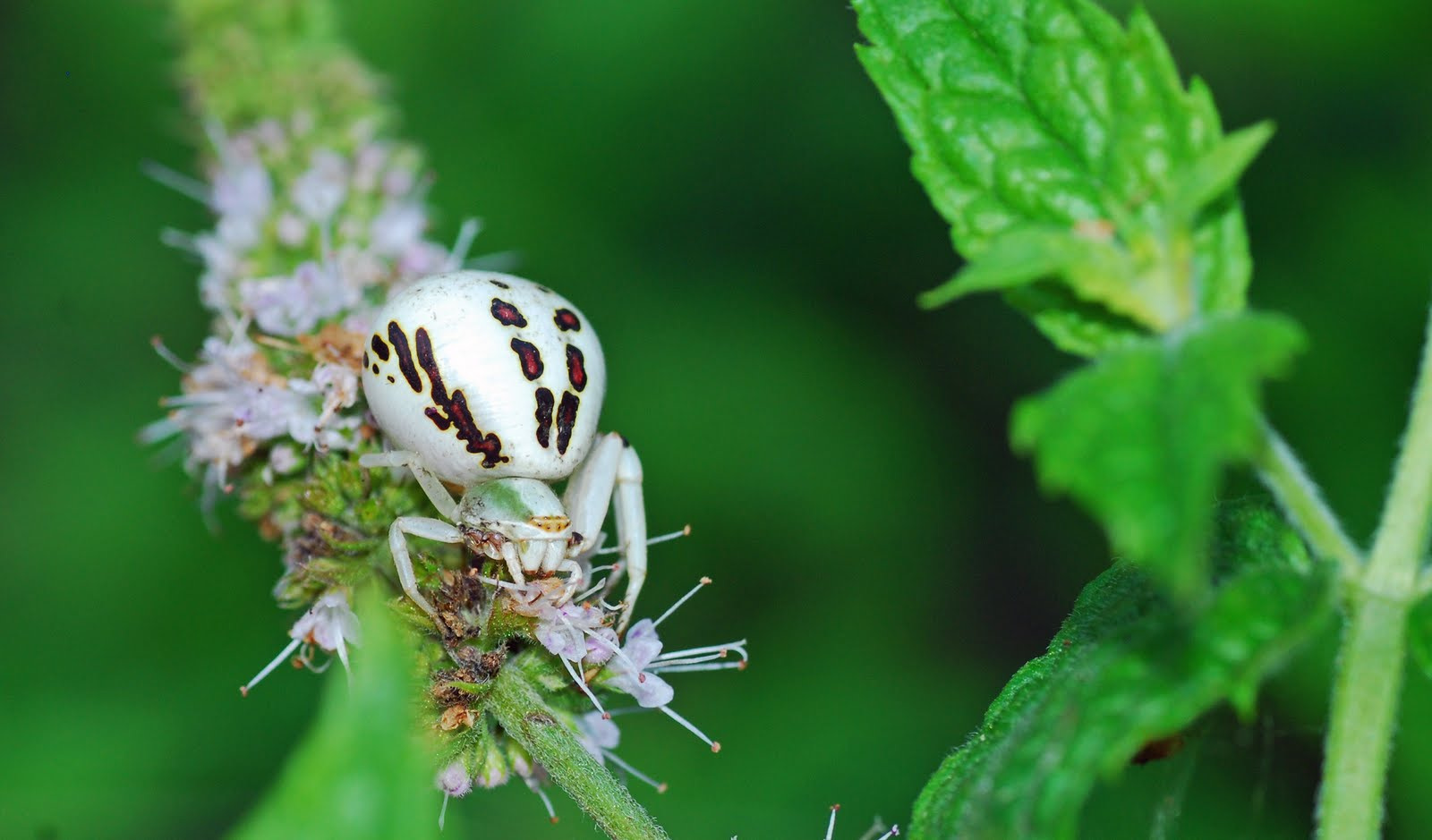 Crab spider preying bumble bee garden spiders spiders flower spiders - Crab Spiders