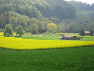 One big yodel spring swiss flower tours the first flower adventure i took them on was to the mustard fields near wettington every may in switzerland hundreds of these bright yellow patches seem mightylinksfo Choice Image