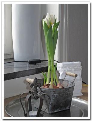 Tulpaner i kruka växer på