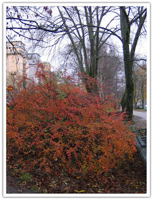 Höstfärgad buske