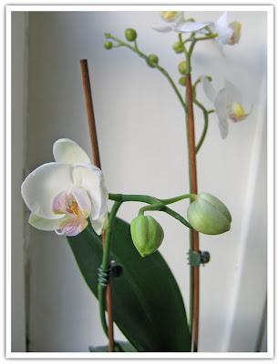Orkidé slagit ut! + fuskis, 28 december