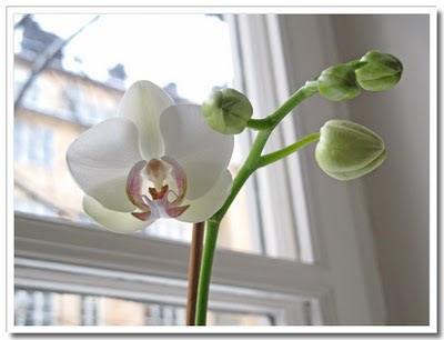 Orkidé som blommar om