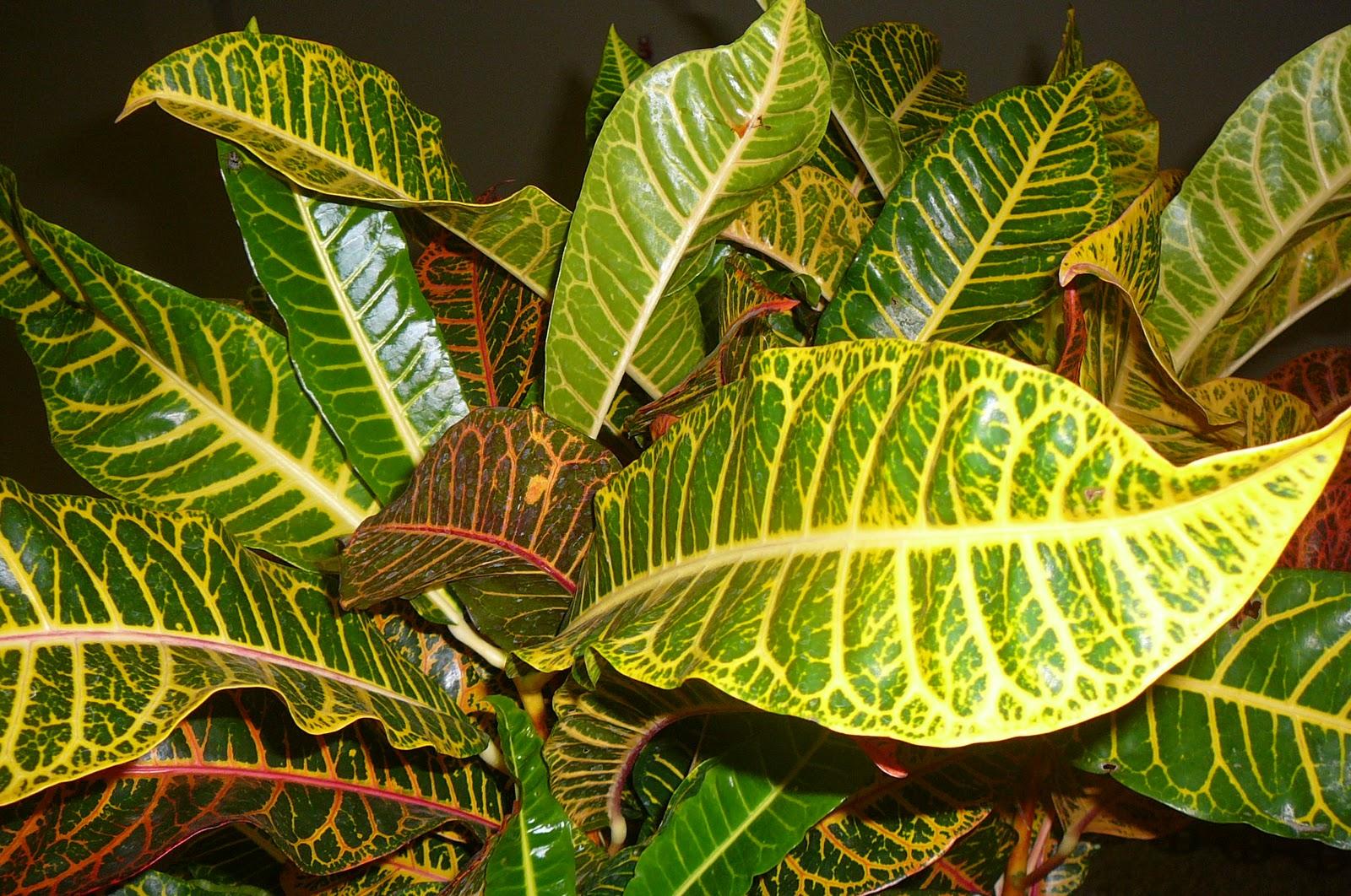 Mis plantas en panam plantas de expoflora codiaeum for Plantas ornamentales croto