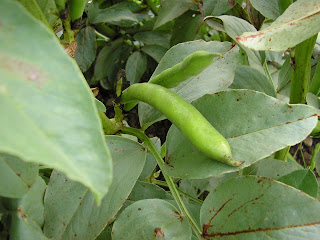 Broad beans - a great crop for beginners - hardy with a good success rate