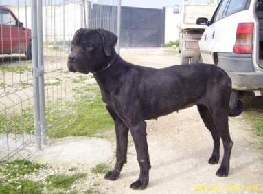 molossoidi da adottare: vera cane corso bellissima (puglia)