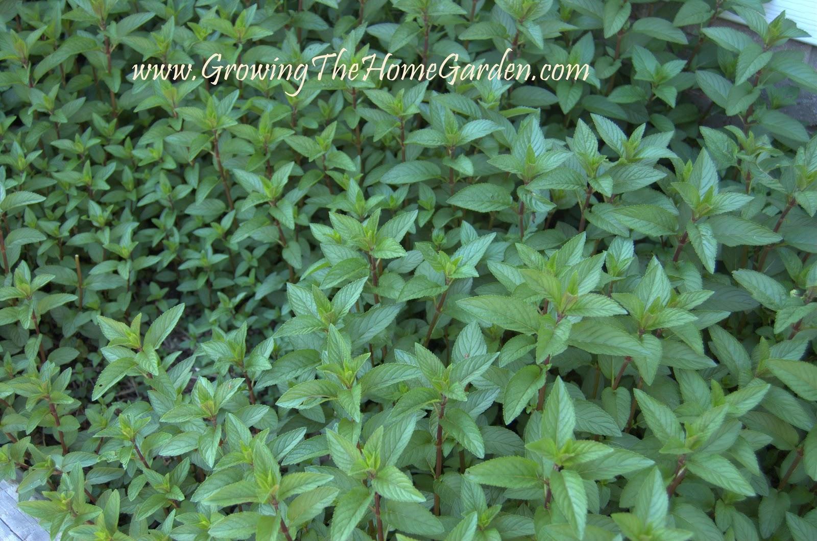 Mint Mayhem! (The Herbs) - Growing The Home Garden