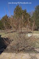 Beginner Gardening:Dappled Willow - Dave's Garden