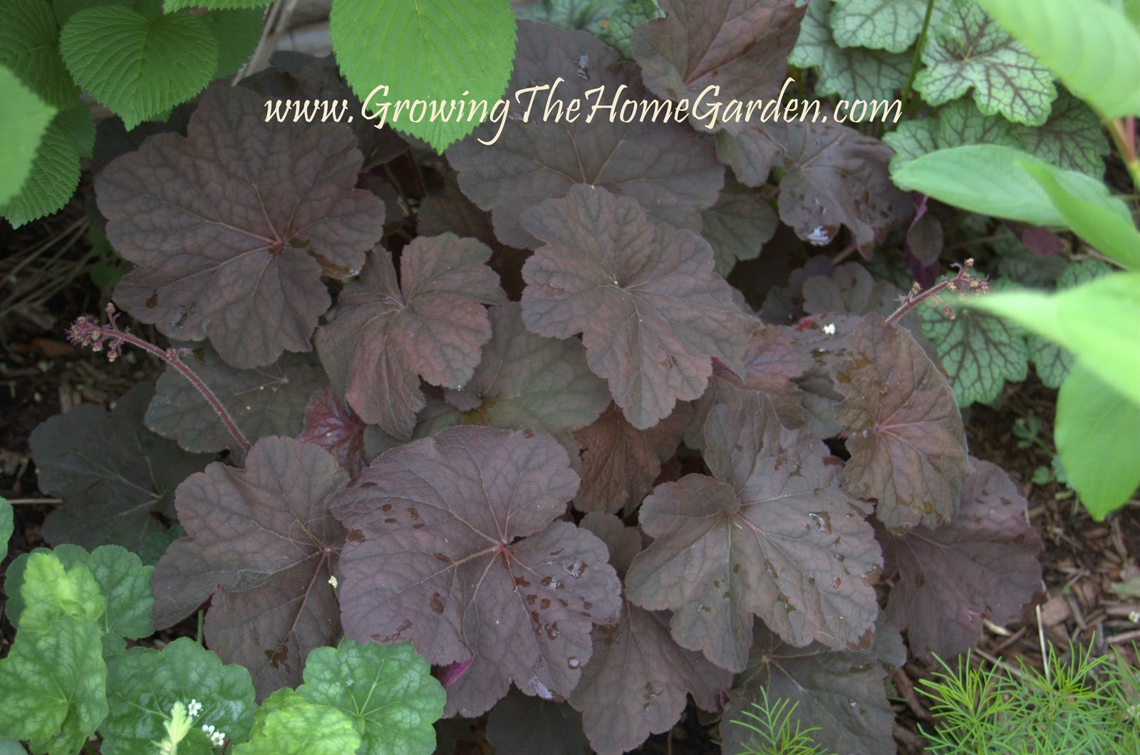 Heuchera (Coral Bells) from Cool Plants for The Home Garden
