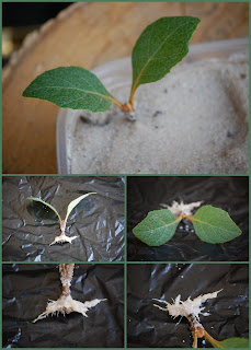 propagating oak leaf hydrangea through cuttings