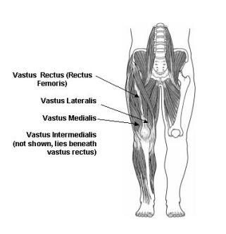 quadriceps muscles diagram - photo #6