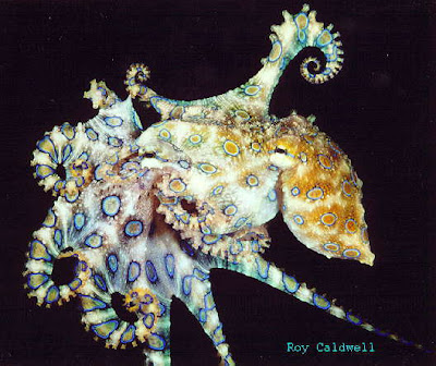 Amazing facts about Blue-Ringed Octopus having SEX