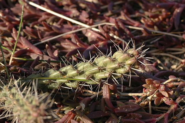 [cylindropuntia_viridiflora_branch_20070317.jpg]