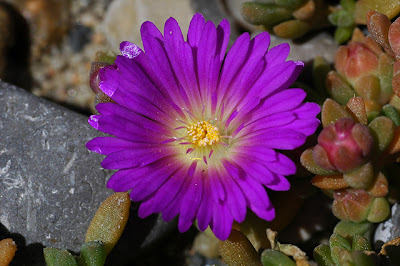 Delosperma sp. (Drakensberg), close-up