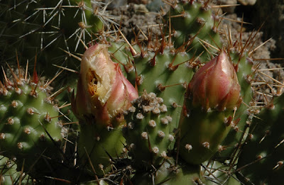 Opuntia 'Smithwick' maimed by snails