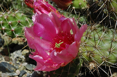 Opuntia 'Claude Arno' missing anthers