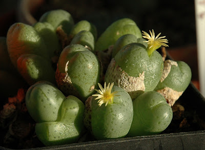 Flowering Conophytum sp.