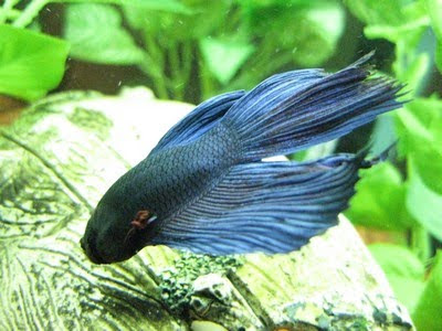 Looking after your siamese fighter betta richelectron for Can you put betta fish with other fish