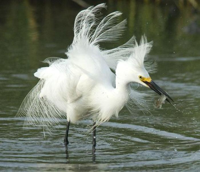SnowEgret7 - Snowy Egret ...