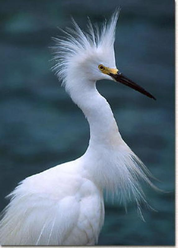 SnowEgret2 - Snowy Egret ...