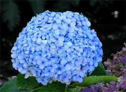 Hortênsia - Hydrangea macrophylla