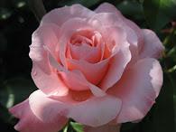 Presente!!!!Amo rosas.