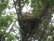 Two Toed Sloth: We saw this sloth in a tree on the side of the road. img