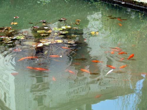 Proyecto piscicola en la ie agricola de pueblo bello for Estanques para criar peces