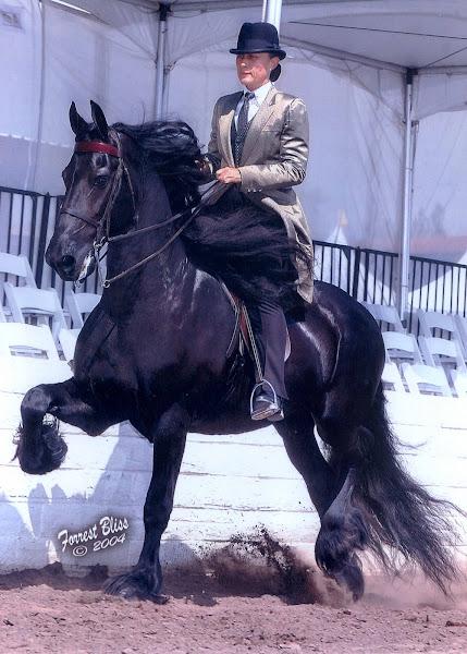 Friesian Saddle Seat Horse