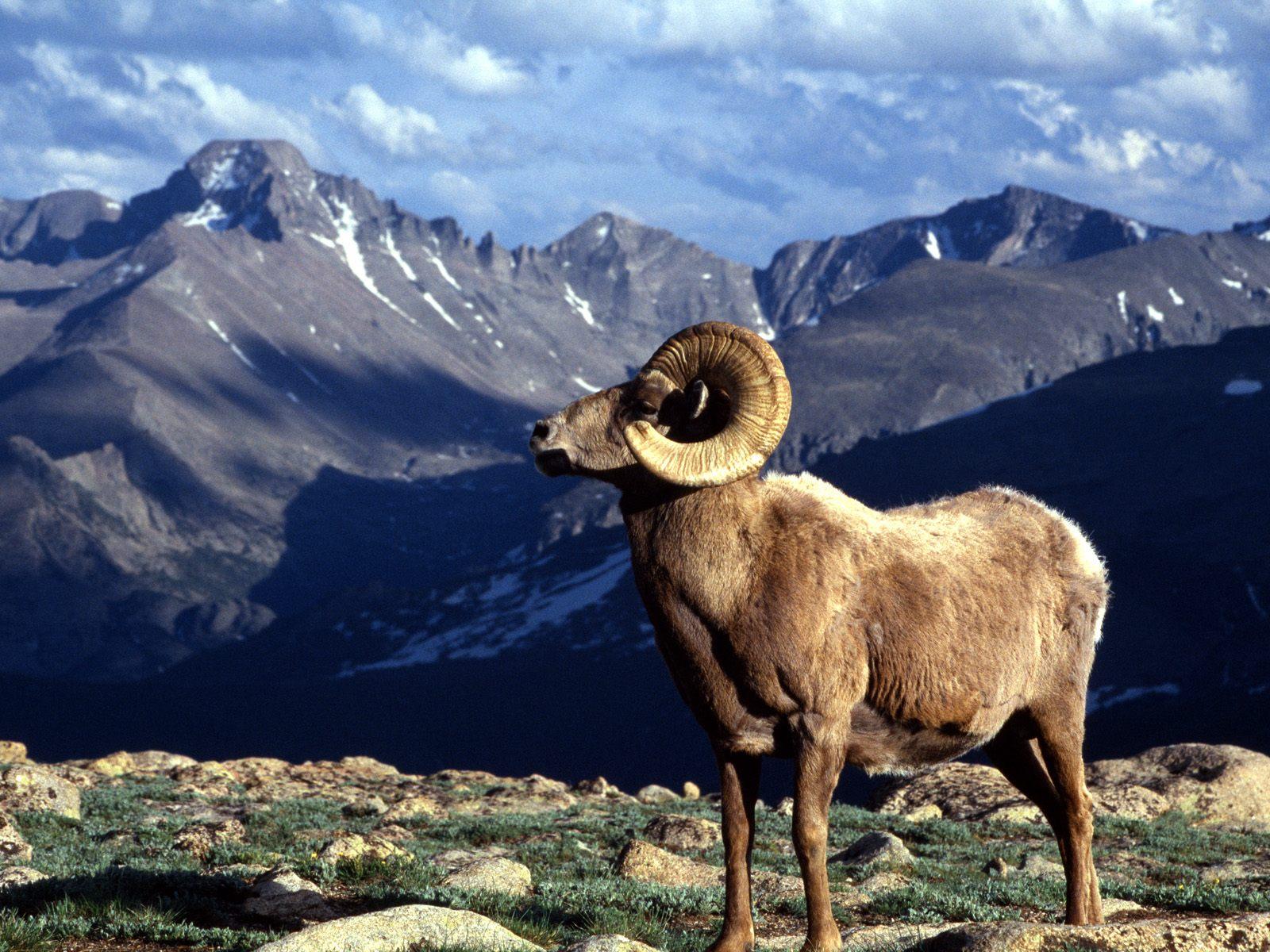 http://2.bp.blogspot.com/_PFHsbKpt1A4/TKeAa4mFH1I/AAAAAAAAACI/jRu1Qn34gjw/s1600/Big+Horn+Ram,+Rocky+Mountain+National+Park,+Colorado.jpg