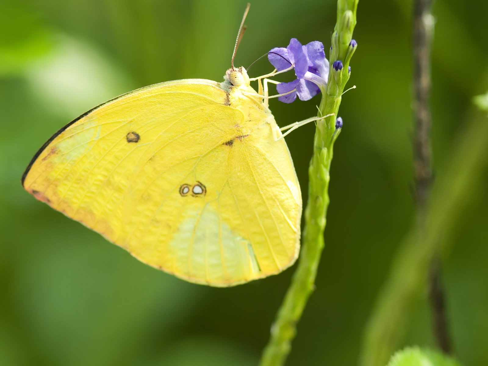 hd wallpapers yellow butterfly