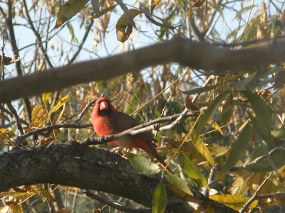 Cardinal in West End Cemetery Lingleville Texas
