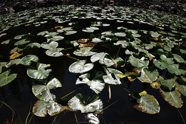 A large pond of lily pads at Yellowstone National Park in Wyoming.