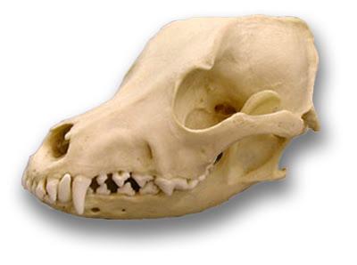 airdale-skull-lg.jpg