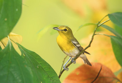 Yellow throated vireo fall - photo#23