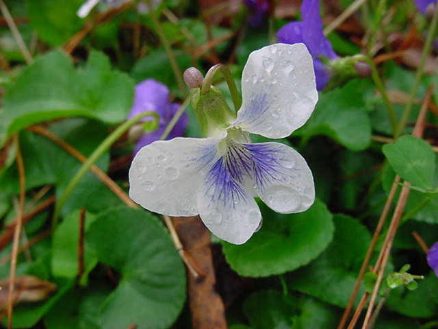 A Piece Of European Treasure The Legend Of Violet The Flower