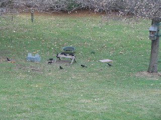 how to keep grackles away