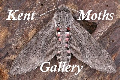 Kent Moths Gallery
