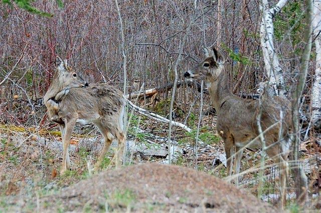 Blog de chasse au chevreuil l 39 arc devenir un chasseur l 39 arc - Cuisiner un gigot de chevreuil ...