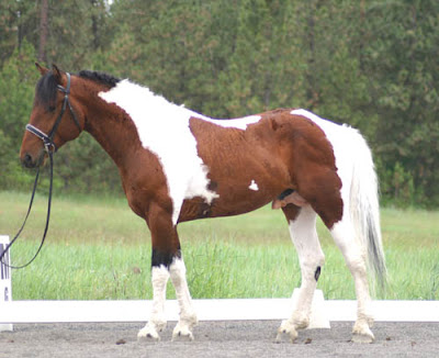 American Bashkir/Curly Horse